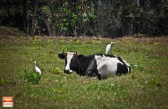 Cattle Egrets and the cow #Photography #Maroc #Morocco #tetouan #foto #photo