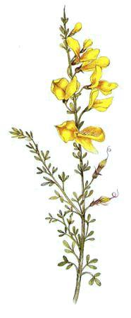 Salada com Maias/Flores de Giesta (Ricette coi fiori: Ginestra nell'insalata.)