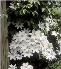 """Clematis 'Henryi', 7"""" blossoms, blooms in spring and fall; """"...white flowers will glow under a full moon."""""""