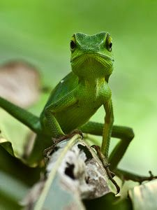 Green lizard by Ijal Qadri -  Click on the image to enlarge.