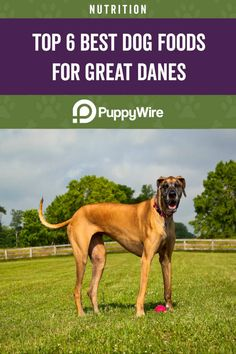 Getting the best dog food for Great Danes can be tricky since they are a giant breed. Here's our top 6 picks click to learn more. Best Dog Food, Dry Dog Food, Best Dogs, Great Dane Breed, Great Dane Puppy, Giant Dog Breeds, Giant Dogs, Great Dane Weight, Hills Science Diet