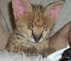 Baby Serval as an exotic pet...