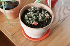 How to Grow Moss Rose (Portulaca grandiflora)