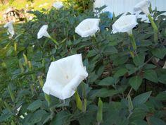 Night blooming flower adding night blooming flowers that are white dautra night blooming flowers mightylinksfo