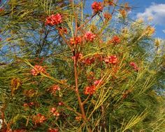 Graceful Grevillea (Grevillea logistyla x johnsonii); Spring flowering, graceful foliage. 4m h x 1.5m w.