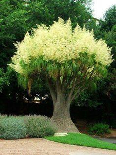 Ponytail Palm. Looks like a Dr. Seuss plant!