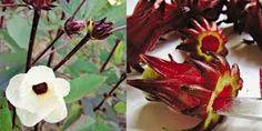 Resultado de imagem para PLantas de hibisco chá