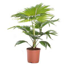 Dronningpalme Høyde 40 cm | Plantasjen Planters, Living Spaces, Cactus, Planter Boxes, Plant, Flower Pots, Pot Holders, Flower Planters, Pots