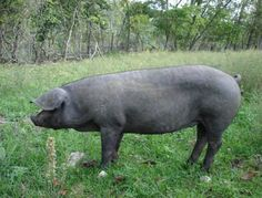 LARGE BLACK HOGS  A RARE HERITAGE BREED HOG KNOWN FOR IT'S TENDER MOIST MEAT AND IT'S CALM DOCILE TEMPERAMENT