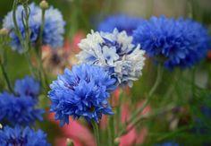 Blue Cornflowers Free Stock Photo - Public Domain Pictures