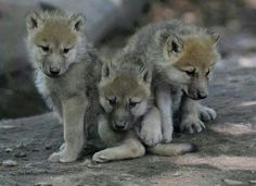 Wolf pups arent they cute?