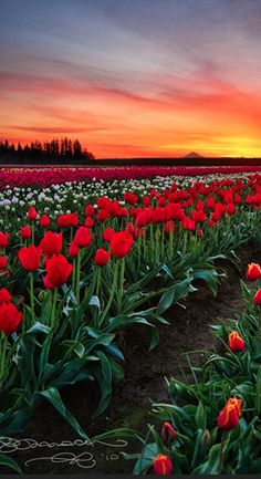 Wooden Shoe tulip fields in Woodburn, Oregon (Mt. Hood on the horizon) • photo:  Gary Randall on Flickr
