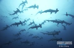 Scalloped Hammerhead #Shark: Not all sharks are solitary, hammerheads live in social groups defined by gender and size