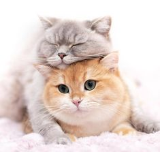 Some randoms cats I found while browsing internet and I thought you would love it Cute Cats And Kittens, I Love Cats, Kittens Cutest, Funny Animal Videos, Funny Animals, Cute Animals, Pretty Cats, Beautiful Cats, Mr Cat