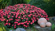 15 Different Annuals for Shade (Photos) - Garden Lovers Club Best Plants For Shade, Cool Plants, Short Plants, California Garden, Border Plants, Annual Flowers, Heuchera, Bright Flowers, Container Flowers