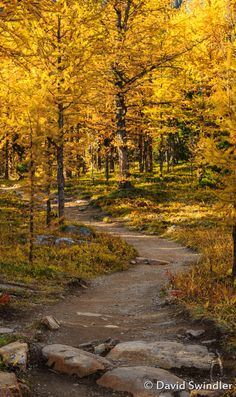 To the most beautiful forest. A Walk Through Larch Valley by David Swindler / (Rockies, Canada) Beautiful World, Beautiful Places, Beautiful Forest, Forest Path, Autumn Scenery, Nature Pictures, Pathways, Beautiful Landscapes, The Great Outdoors