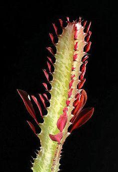 Sera Liliput'ta Yetiştirilen Sukkulent ve Kaktüsler: Euphorbia trigona 'Royal Red' Succulent Gardening, Royal Red, Plant Leaves, Succulents, Backyard, Plants, Diy, Yard, Bricolage