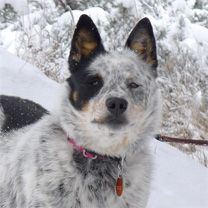 Special Blue Merle Cattle Dog Seeks Understanding Friend