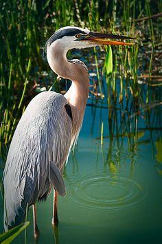 Wading Heron - Wakodahatchee Wetlands, Florida