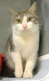 Sparkle Animal ID19038079 INTAKE DATE 1-28-13  female (not spayed) and will need to have a FELV/ FIV test and UTD vaccines & vet care /spay--see shelter details  Breed Domestic Medium Hair/Mix   Color Grey/White   Declawed No   Hoke County, NC  Animal Shelter 910-875-4827  PLEASE NETWORK THIS CAT!!! THEY NEED HELP TOO!!!!
