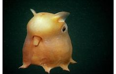 Here is a photo of DUMBO OCTOPUS. An interesting animal from deep sea. about dumbo octopus wikipedia-English bi garip bi enteresan,bi komik sanki dil çıkarıyor gibi. Bizarre Animals, Rare Animals, Unique Animals, Exotic Animals, Deep Sea Creatures, Weird Creatures, Deep Sea Animals, Beautiful Creatures, Animals Beautiful