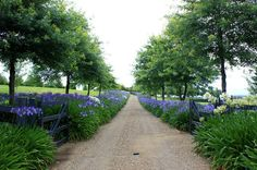 Agapanthus lined drive. A bit like New Zealand in the summer. Agapanthus lining everywhere, just beautiful! Farm Entrance, Driveway Entrance, Meadow Garden, Dream Garden, Farm Gardens, Outdoor Gardens, Landscape Design, Garden Design, Tree Lined Driveway
