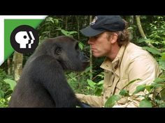Conservationist Reunites With Gorilla Released Into Wild. He Released A Gorilla Into The Wild 5 Years Ago. But When They Meet Again… OMG Conservationist Damian Aspinall released a gorilla into the wild five years ago after raising him in his wildlife park. No one knew how Kwibi would respond, but wait until you see it…