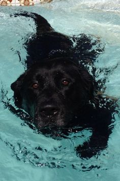 black labrador swimming in the pool