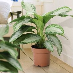22 Stunning Aglaonema Varieties | Chinese Evergreen Types House Plants Decor, Plant Decor, Garden Plants, Persian Shield Plant, Indore Plants, Chinese Evergreen Plant, Lucky Plant, Air Cleaning Plants, Silver Bay