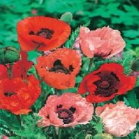 Poppy (Oriental)  Hardy  Full Sun  Sow: March - May (indoors)  Sow: March - June (outdoors)  Flowers: March - July  LAtin Name: Papaver Orientale  SOil Acidity: Neutral/Alkaline  Soil dampness: dry/medium  Soil Fertility: Any  Soil Drainage: High