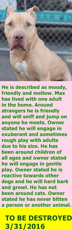 GONE 3-31-2016 --- Brooklyn Center  My name is MAX. My Animal ID # is A1068509. I am a male tan and white am pit bull ter mix. The shelter thinks I am about 7 YEARS old.  I came in the shelter as a OWNER SUR on 03/25/2016 from NY 11203, owner surrender reason stated was NO TIME. http://nycdogs.urgentpodr.org/max-a1068509/
