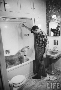 Blondie, the pet lion, revelling in the shower spray of lukewarm water her owner Charles Hipp is directing on her pelt, at home. By Joseph Scherschel, 1955