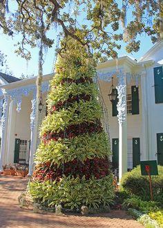 Bromeliad Christmas tree at Selby Gardens in Sarasota Florida.
