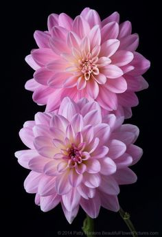 It's A Girl Dahlias © 2015 Patty Hankins A pair of beautiful pink It's a Girl Dahlias Beautiful Flowers Pictures, Flower Pictures, Pretty Flowers, Simple Flowers, Dahlia Flower, Flower Pots, Exotic Flowers, Pink Flowers, Colorful Flowers