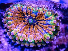 Green Mushroom Coral   Atomic green orange sherbet ricordia   New Age Aquatics Premium Corals ...