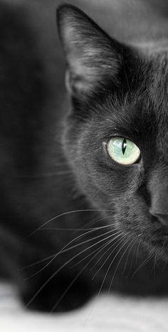 ADOPT a black cat! They are usually looked upon as dull or plain, and are often passed over for more interesting colored pets for adoption. Pretty Cats, Beautiful Cats, Animals Beautiful, Cute Animals, Pretty Kitty, Baby Animals, Crazy Cat Lady, Crazy Cats, I Love Cats