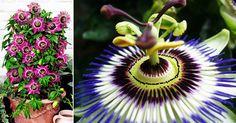 Do u like Passiflora ? Wonderful creeper with Unique Flower structure - Plant Talk - NurseryLive Wikipedia