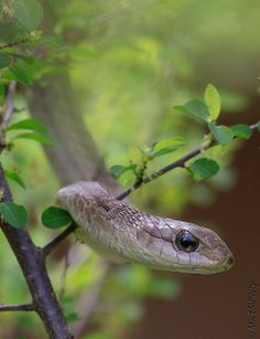 A highly venomous boomslang waits patiently in the bush of Kruger National Park, South Africa Spiders And Snakes, Big Bunny, Beautiful Snakes, Wild Creatures, Kruger National Park, Reptiles And Amphibians, African Animals, Lizards, Animal Kingdom