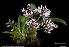 Dendrobium pachyphyllum plant. A species orchid (color)