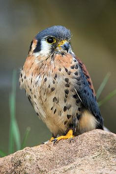 American Kestrel 21/04/13 by Dave learns his Dig SLR?*