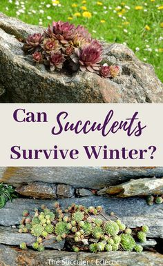 Prepare your outdoor succulents to survive the winter. Determine which are hardy in your climate, arrange potted plants to better withstand winter's chill. Learn how to protect succulents in the ground! Protect your succulents from winter so they will shine come spring!  #succulentcare #wintersucculentsoutdoor #wintersucculentcare Succulents In Containers, Planting Succulents, Potted Plants, Indoor Plants, Walk In Greenhouse, Portable Greenhouse, Succulent Care, Succulent Pots, Succulent Landscaping