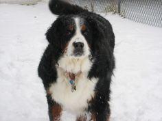 Bernese Mountain Dog- Beau
