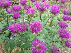 Plants good for pollinators.