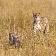 Female cheetah and cubs. Picture: Paul Goldstein / Rex Features