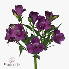 Alstroemeria Marlin is a lovely Purple cut variety. 2018 Wedding Trend: Ultra Violet Purple. For lilac and purple wedding flowers to suit your colour scheme, visit our website at www.trianglenursery.co.uk/fresh-flowers!