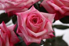 Trendy Fragrance Rose from the Tambuzi Farm in Kenya. Easy order garden roses online @ www.parfumflowercompany.com