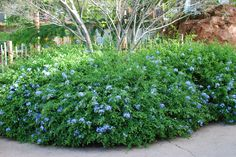 Plumbago - ground cover, full sun, blooms spring and fall Landscaping Plants, Plants, Planting Flowers, Shrubs, Succulent Landscape Design, Desert Landscaping, Xeriscape, Perennials, Winter Garden