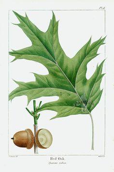 Michaux North American Sylva antique prints by Bessa, Redoute 1819: Red Oak (leaf, acorns)