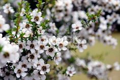 Manuka (Leptospermum scoparium) Tea Tree Royalty Free Stock Photo
