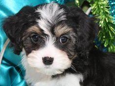 Cavachon Puppy Foxglove Farms Casey Jones